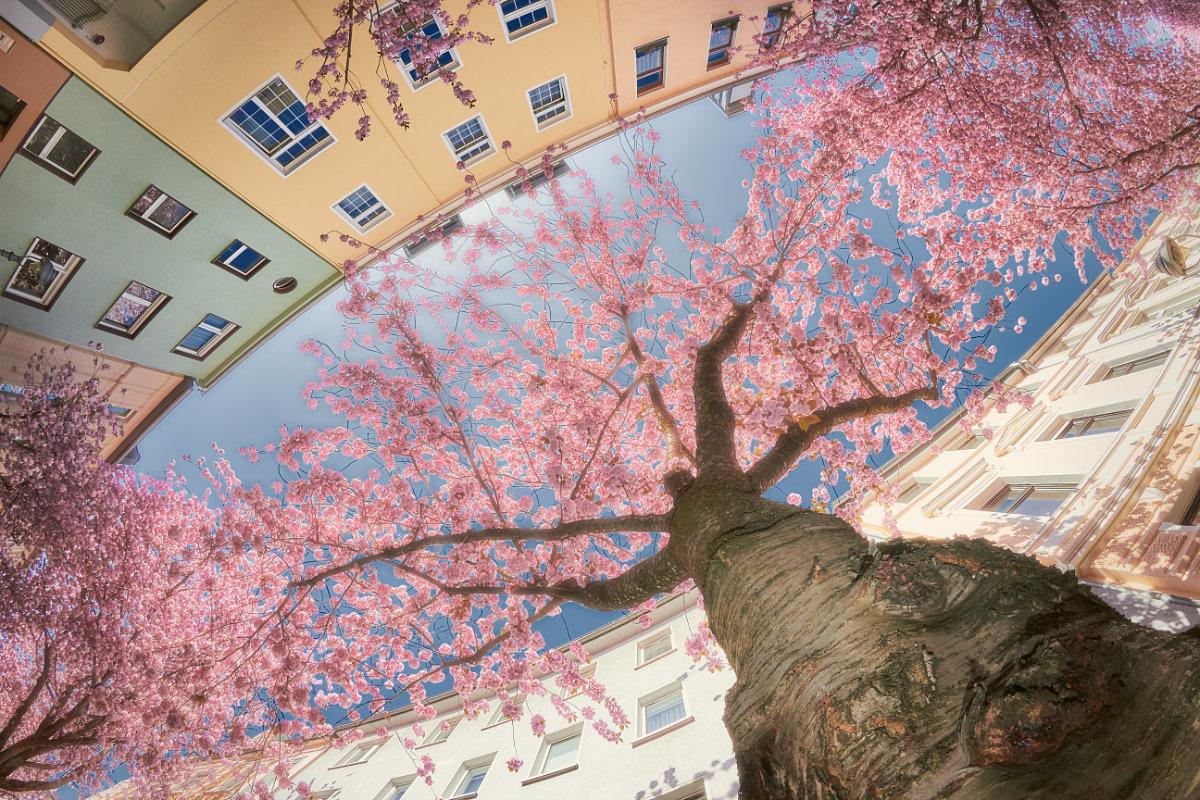 Cherry Treebeard by Jens Sieckmann