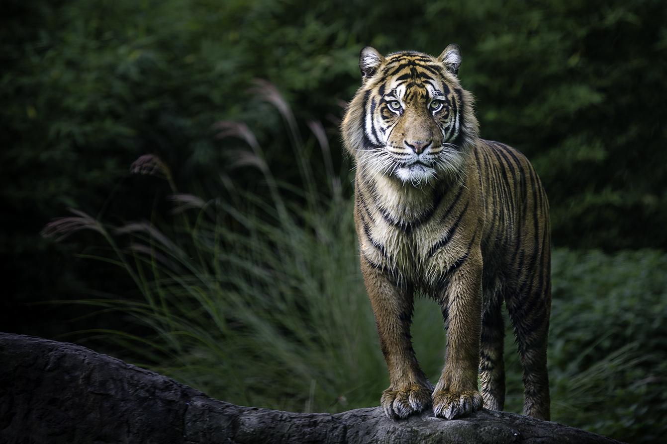 Tiger by Marco de Lee