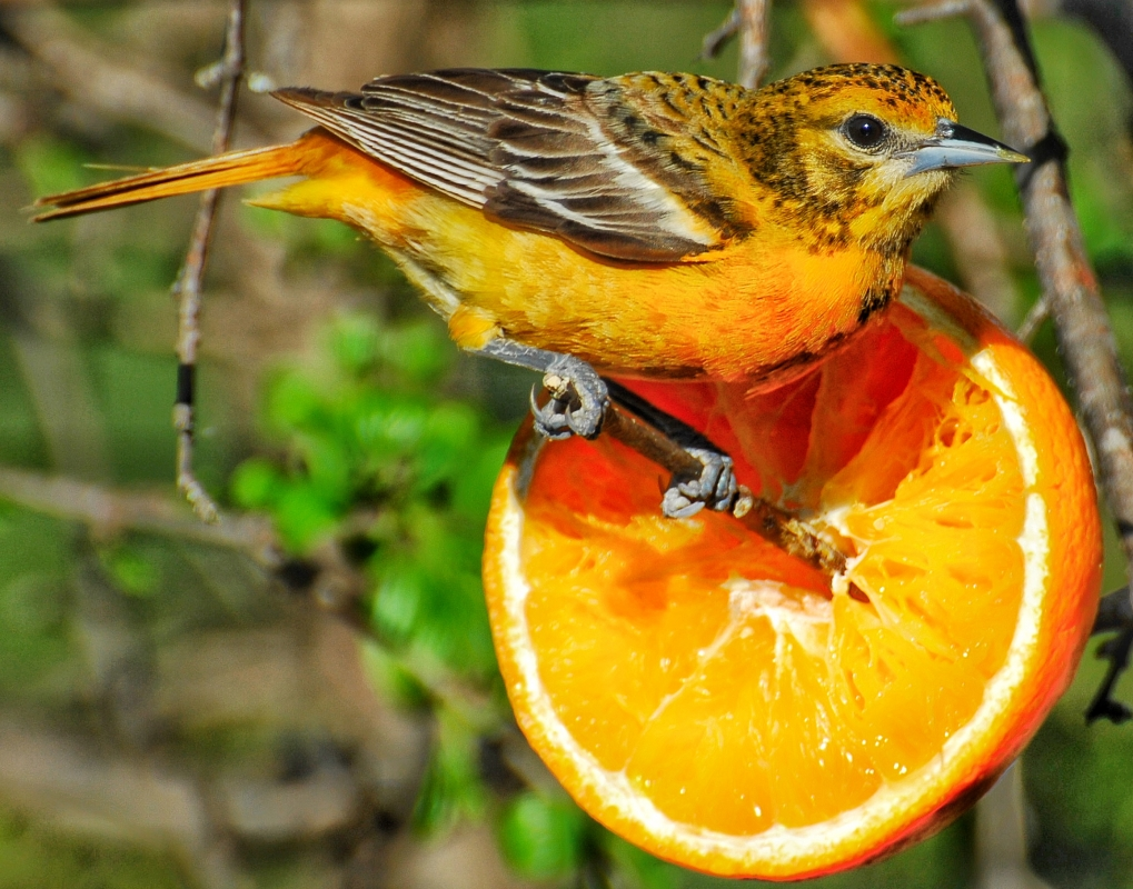 Oranges for Orioles by Binky Bass