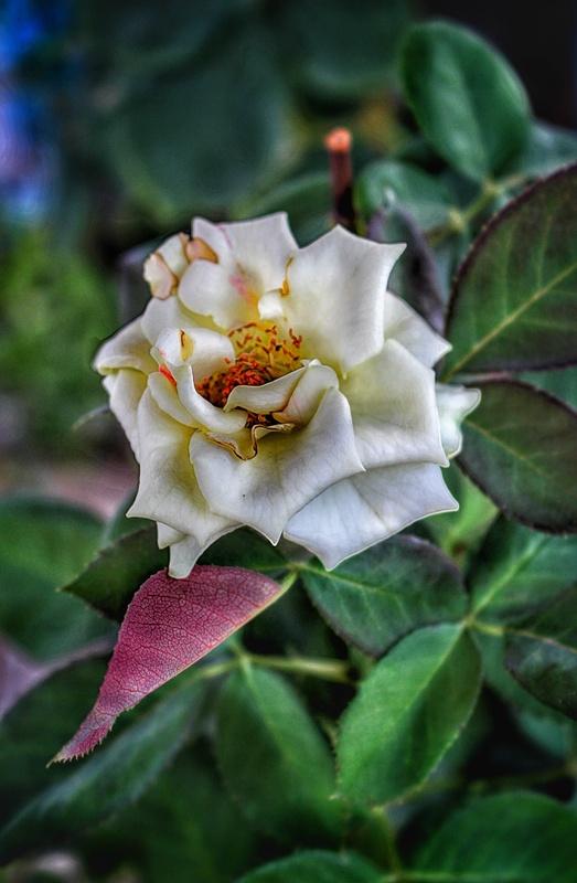 Roze by ahmad anvari