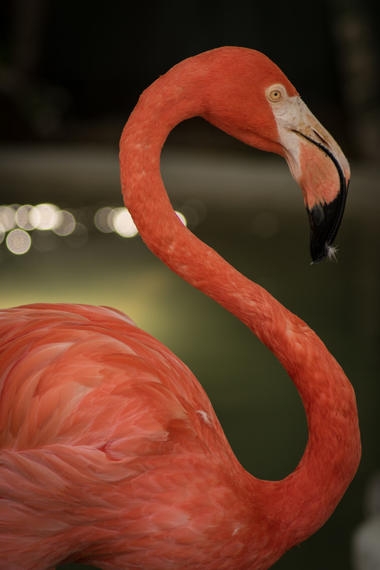 Coral Flamingo by Olga Kolleeny