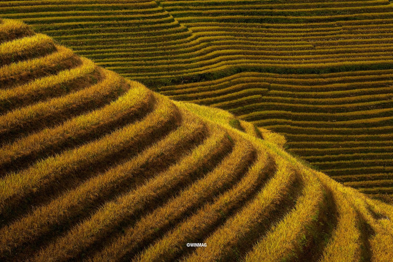 Golden Fields of Longji by Win Mag