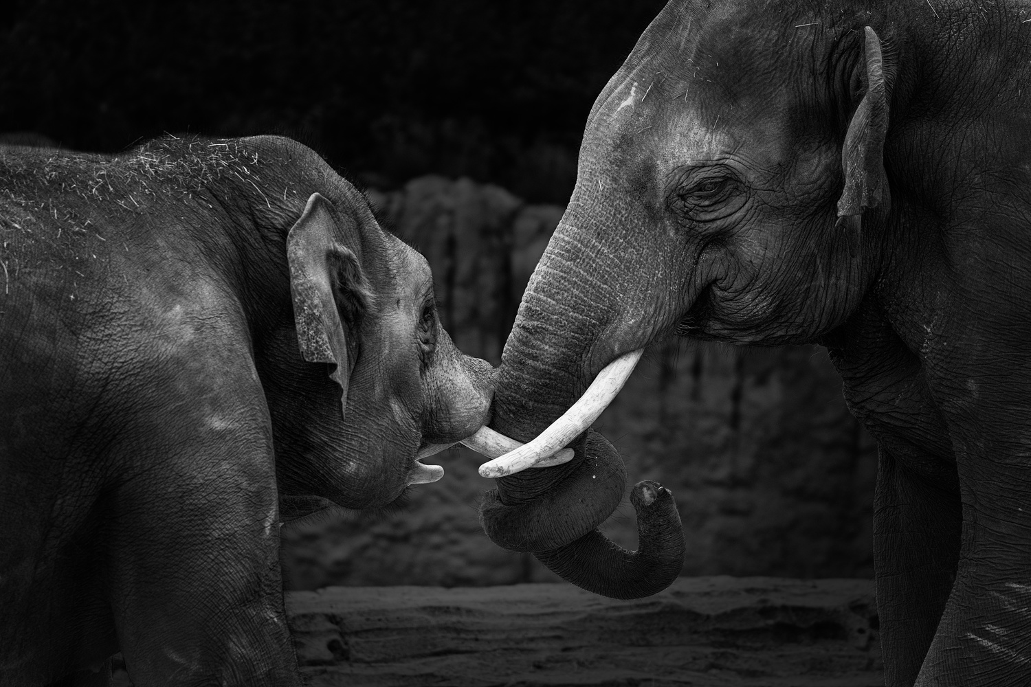 Elephants in black and white by Patrick Snitjer
