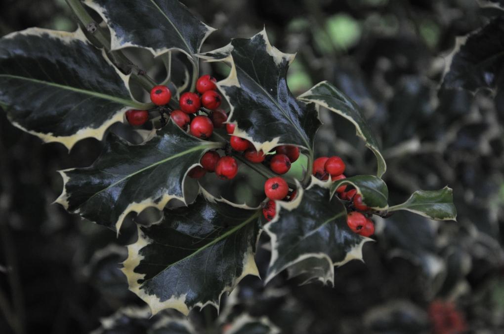Holly berries by Martyn Jupp