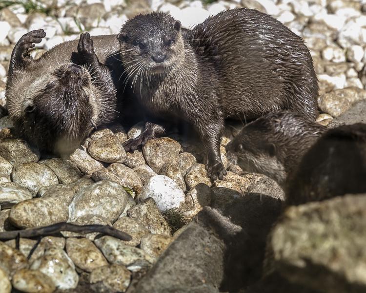 Otters squabbling by Martyn Jupp