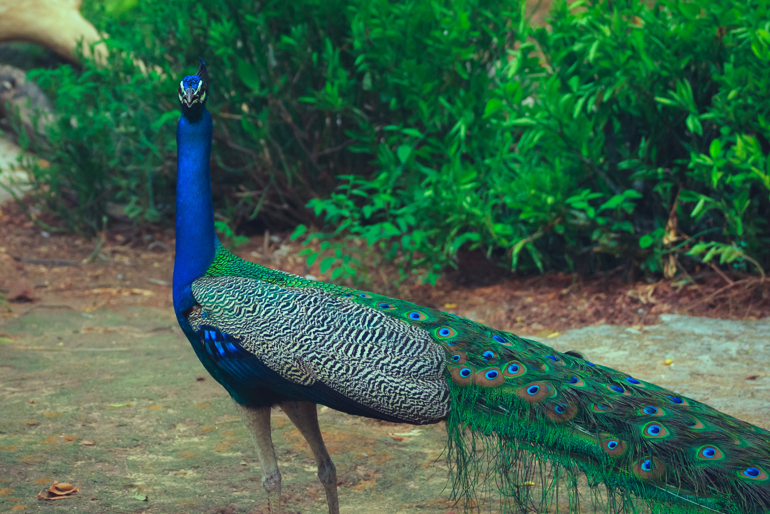 Angry Peacock by Vivek Doshi