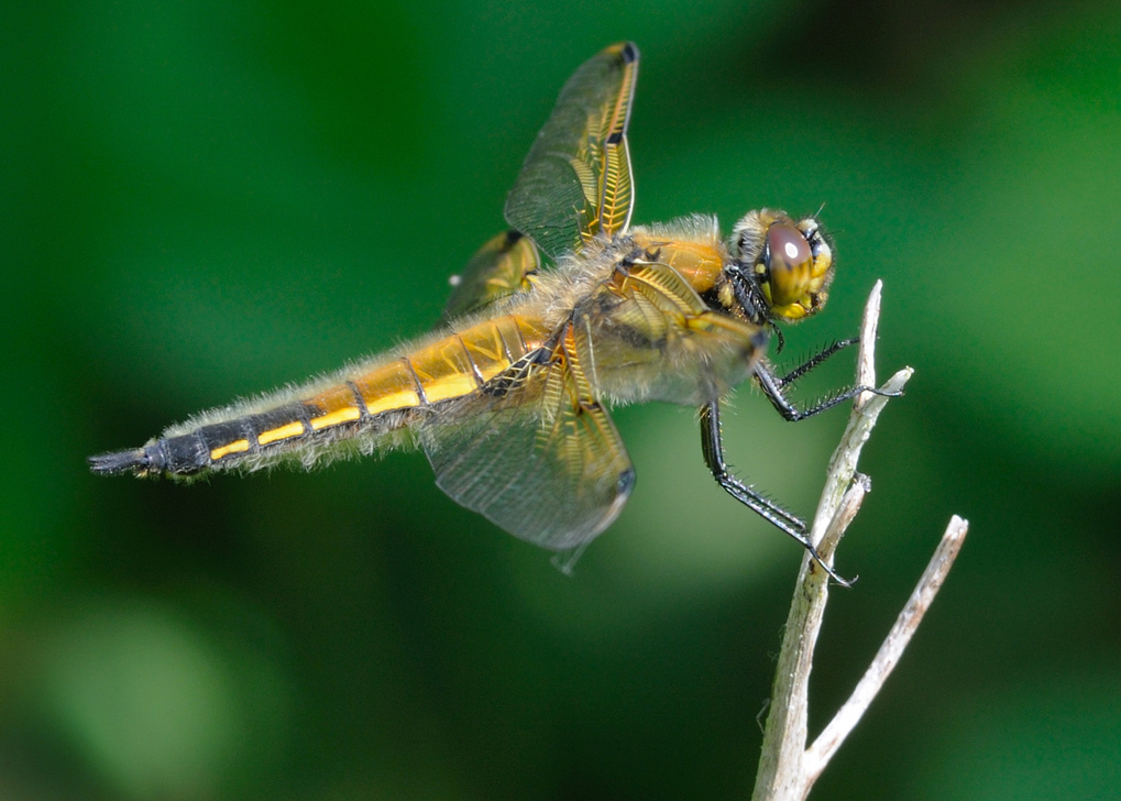 Four-spot Chaser by Tim Daish