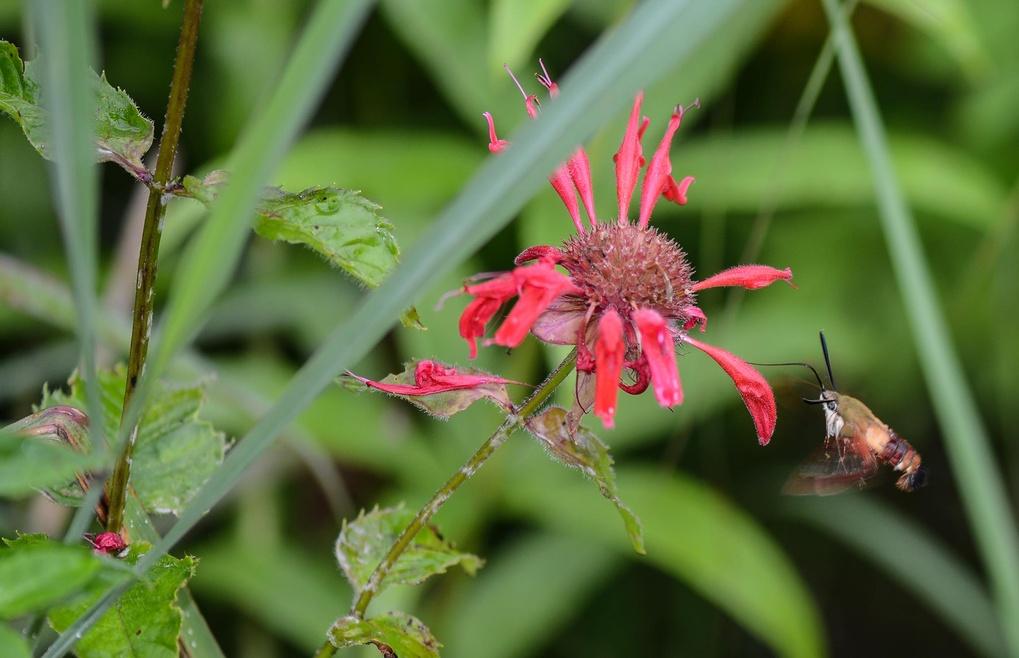Hummingbird Moth  by Joey McClain