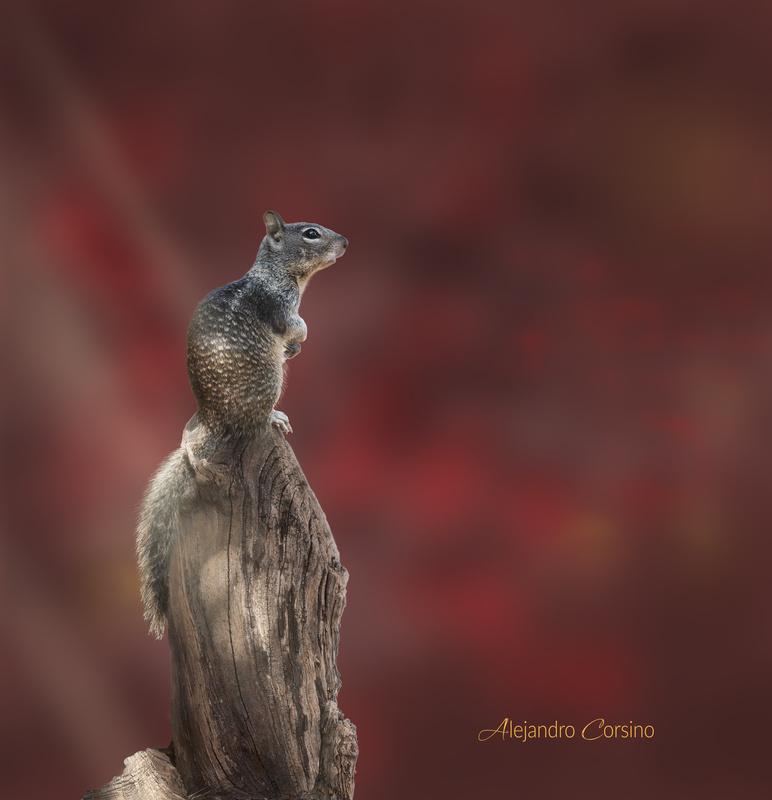 El Descanso Squirrel by Alejandro Corsino