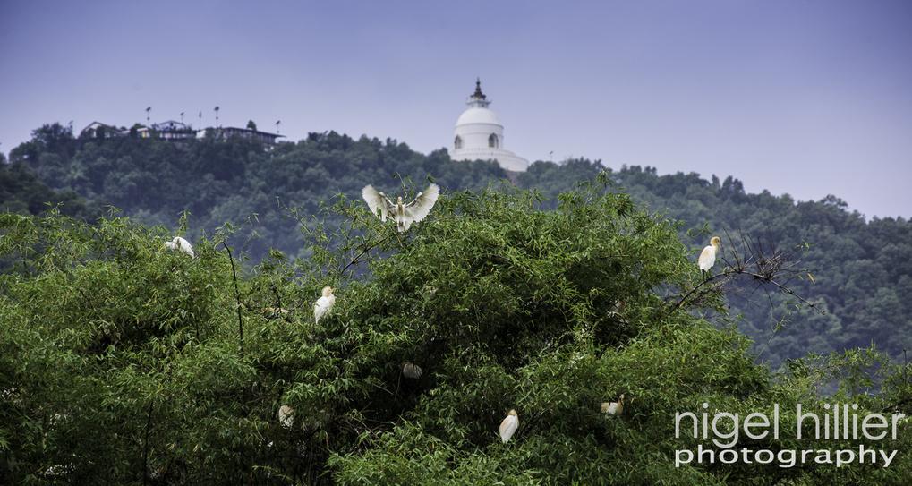 Egrets, Pokhara. Nepal by Nigel Hillier