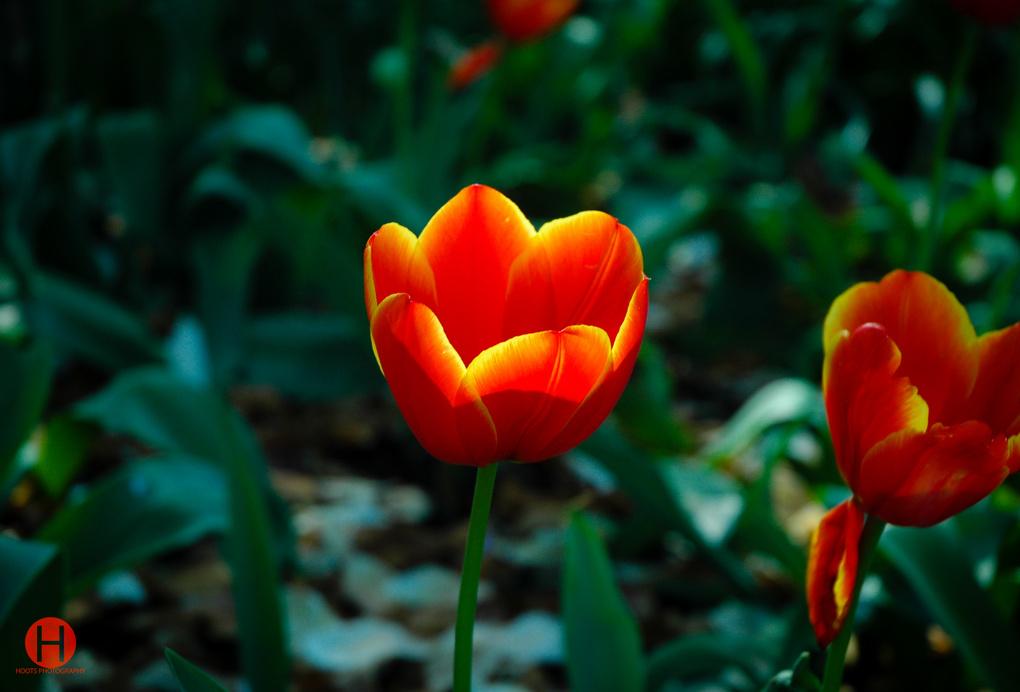 Fire Flower by Chris Hoots