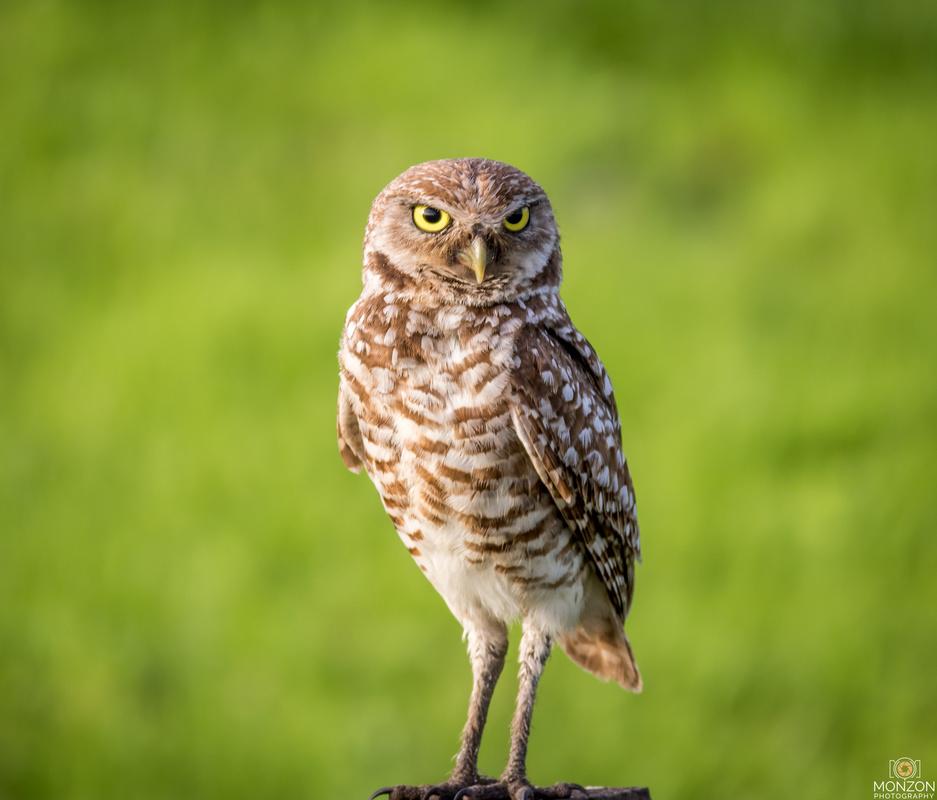 Owl Portrait by Ricky Monzon