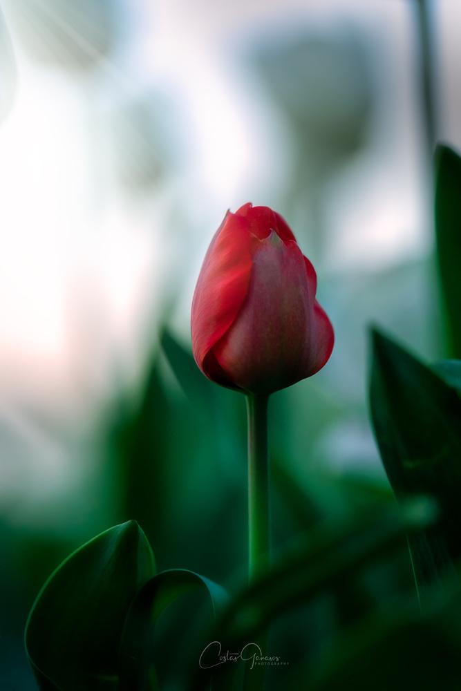 Beautiful tulip by Costas Ganasos