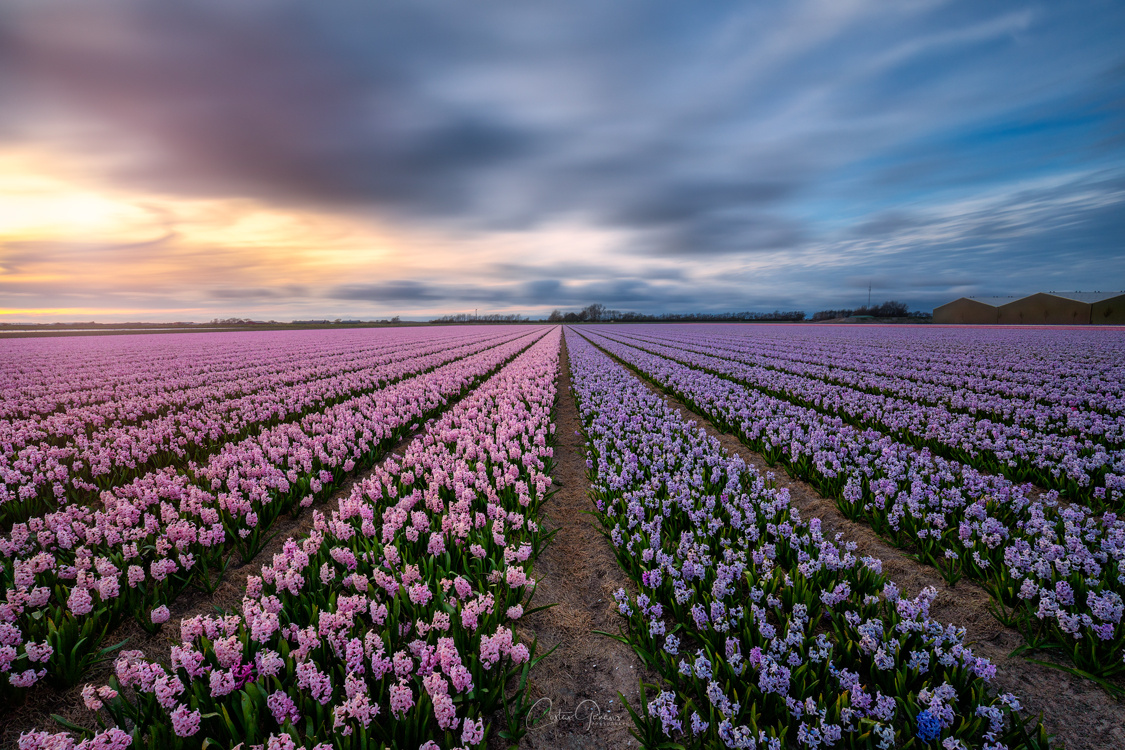 Nature's perfume the amazing Hyacinths by Costas Ganasos