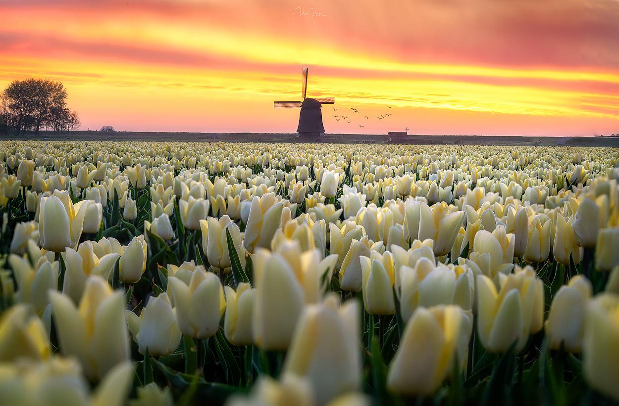 Dutch tulip sunrise by Costas Ganasos