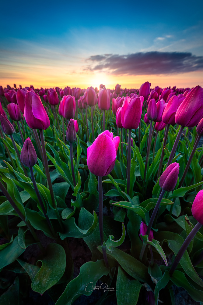 The amazing tulips in the Netherlands by Costas Ganasos