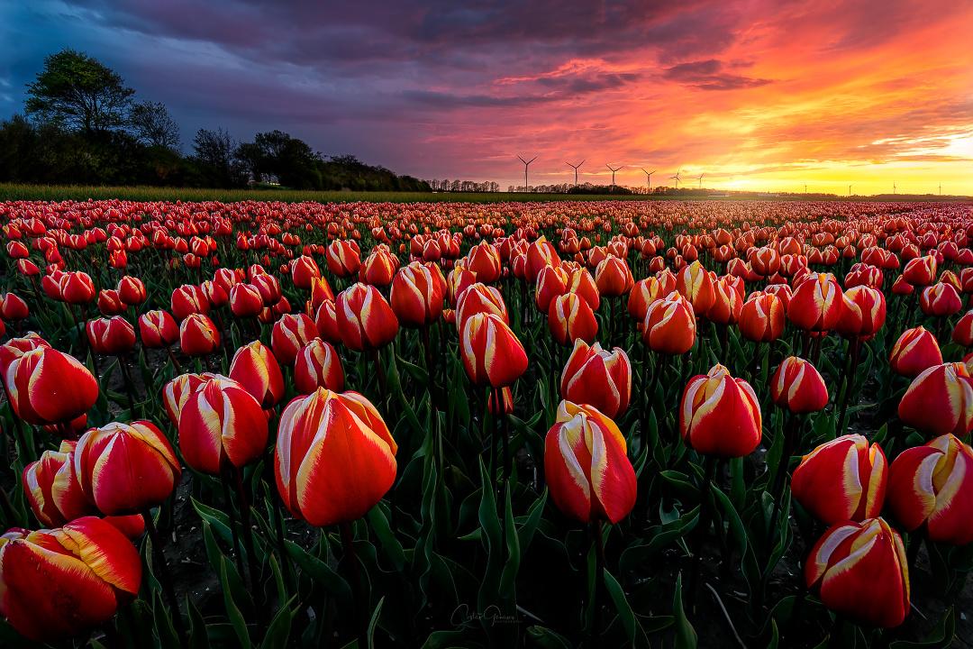 Amazing tulip sunset by Costas Ganasos