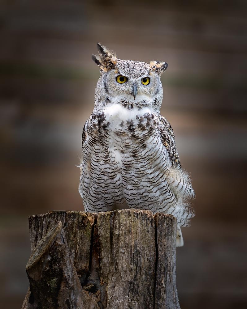 Great Horned Owl by Costas Ganasos