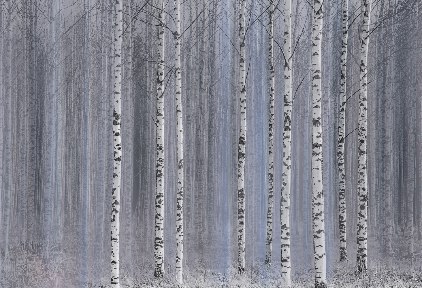 The Birch Woodland by Carl Irjala