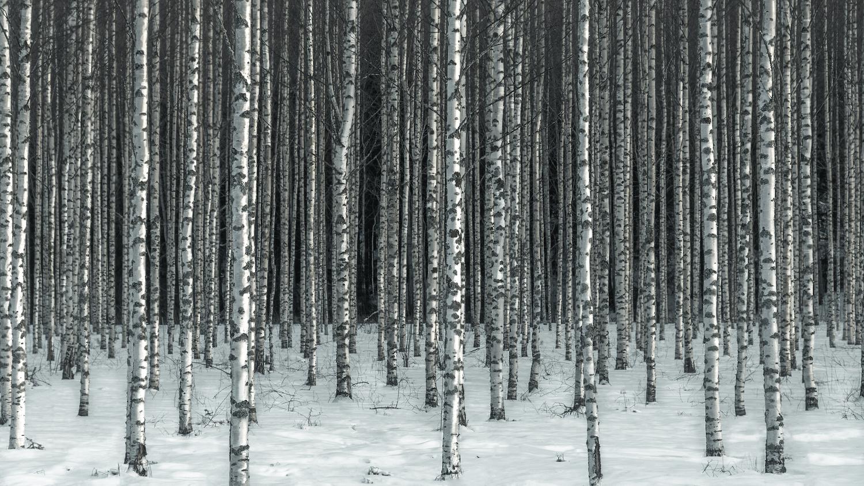 Birch Forest by Carl Irjala