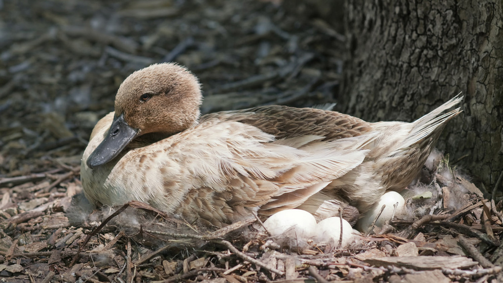 Mama Duck by Edwin A Rivers