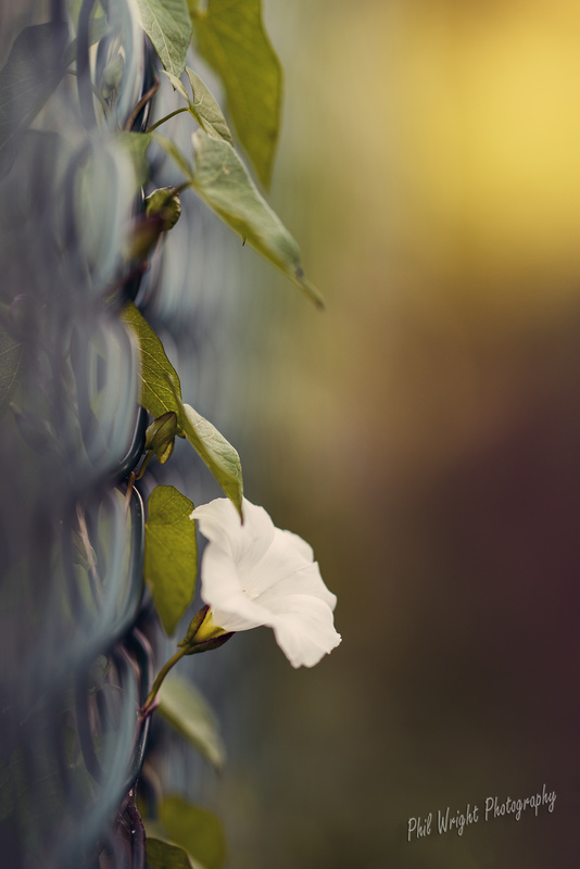 White Morning Glory by Phil Wright