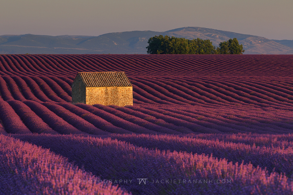 Valensole rows of Lavender by Jackie Tran