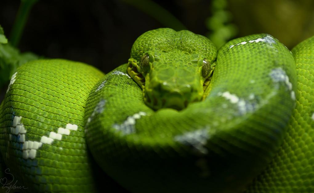 Emerald Tree Snake by Sarah Brigham