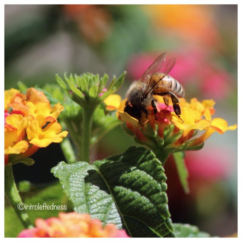 Bee on Lantana by John VanDusen
