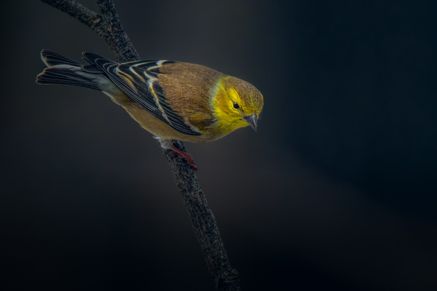 Goldfinch by Jim Elve