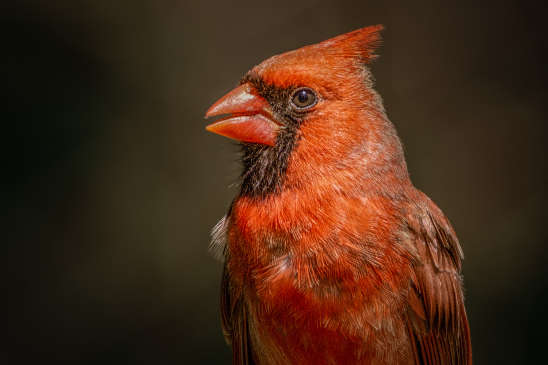 Cardinal by Jim Elve