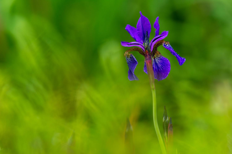 Siberian Iris by Jim Elve