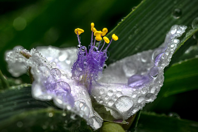 Spiderwort by Jim Elve