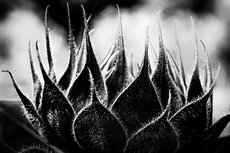 Sunflower by Jim Elve