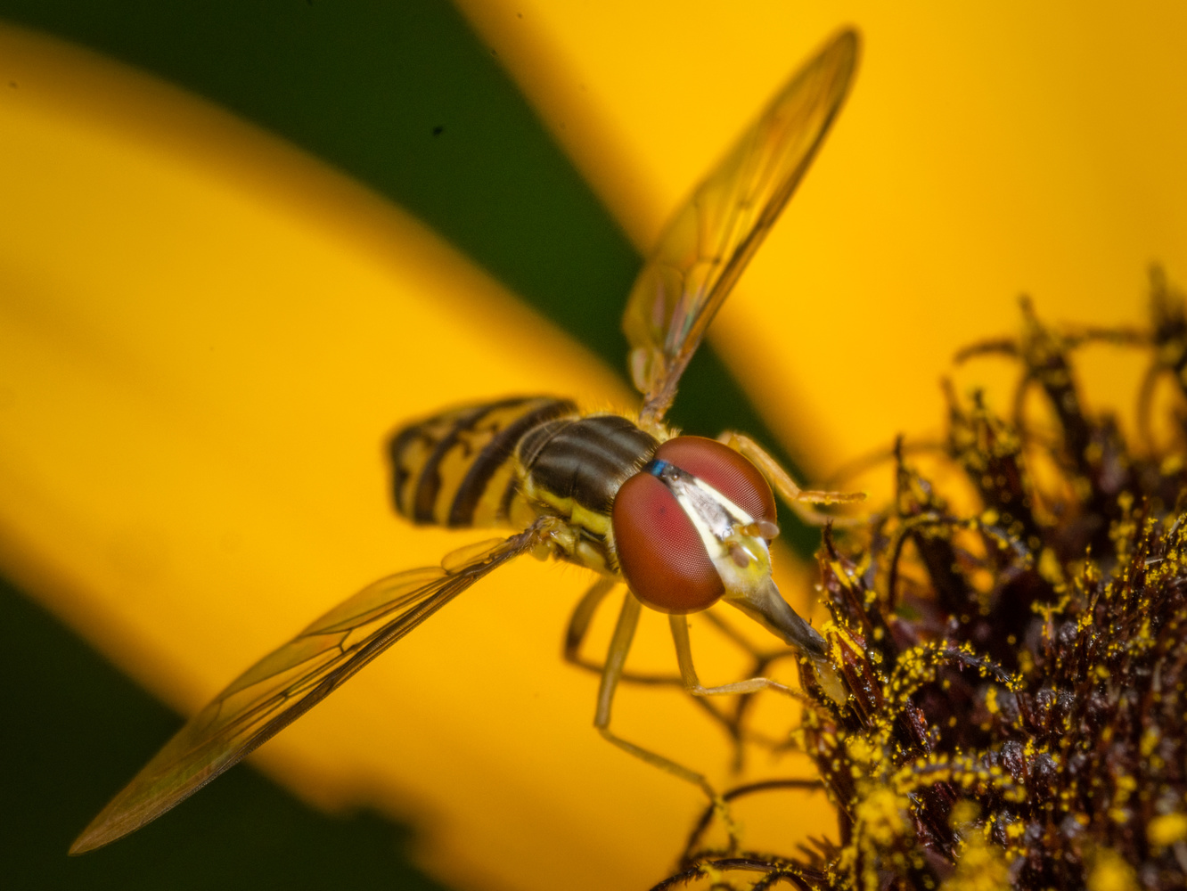 Hoverfly by Jim Elve