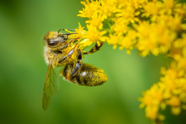 Honey Bee by Jim Elve