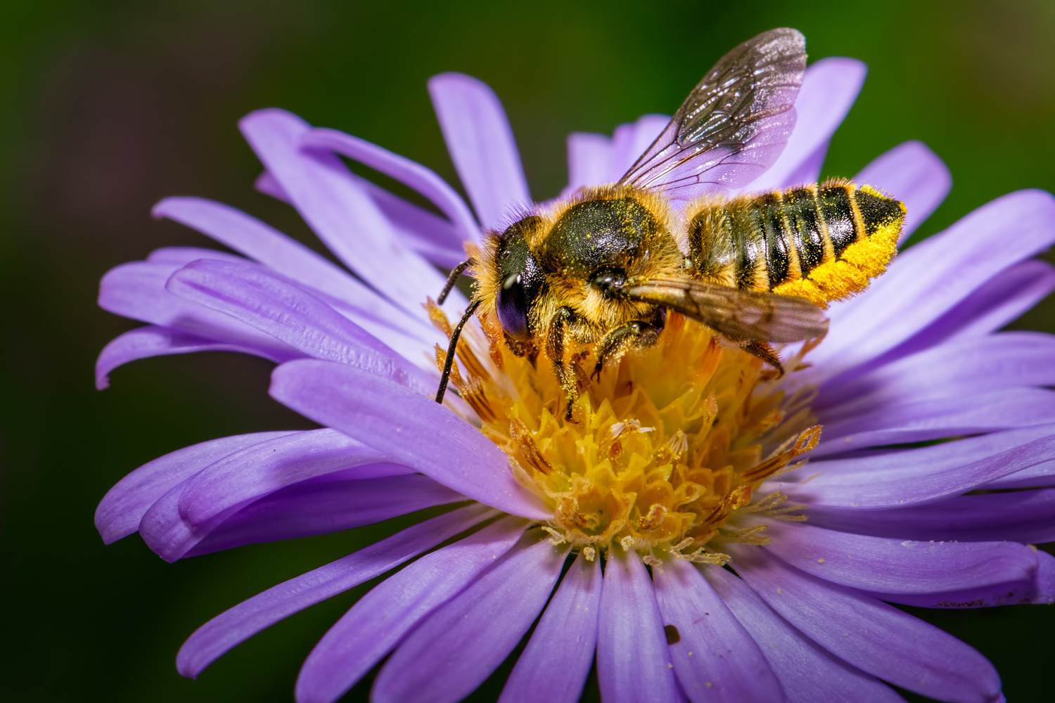 Leafcutter Bee by Jim Elve