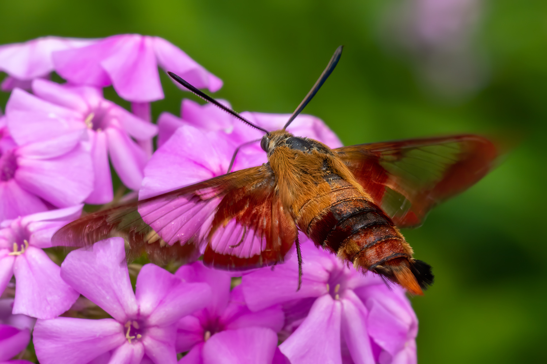 Hummingbird Clearwing Moth by Jim Elve