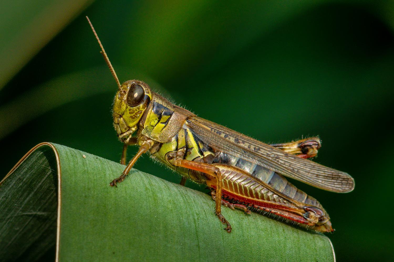 Grasshopper by Jim Elve