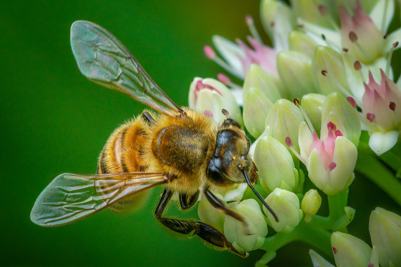 Western Honeybee by Jim Elve