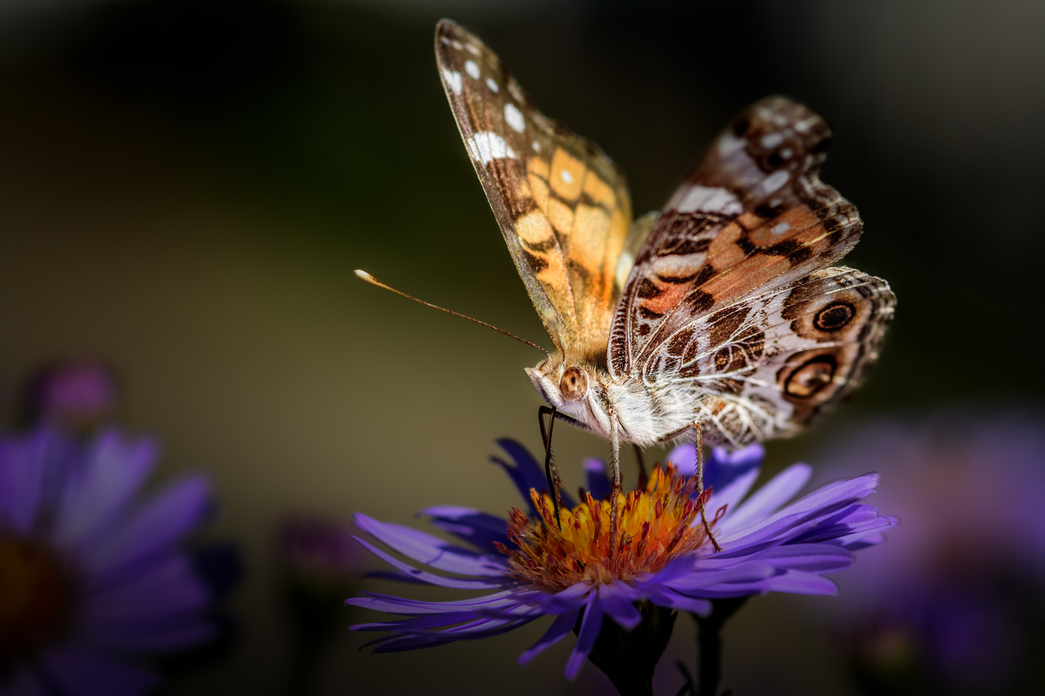 Painted Lady by Jim Elve