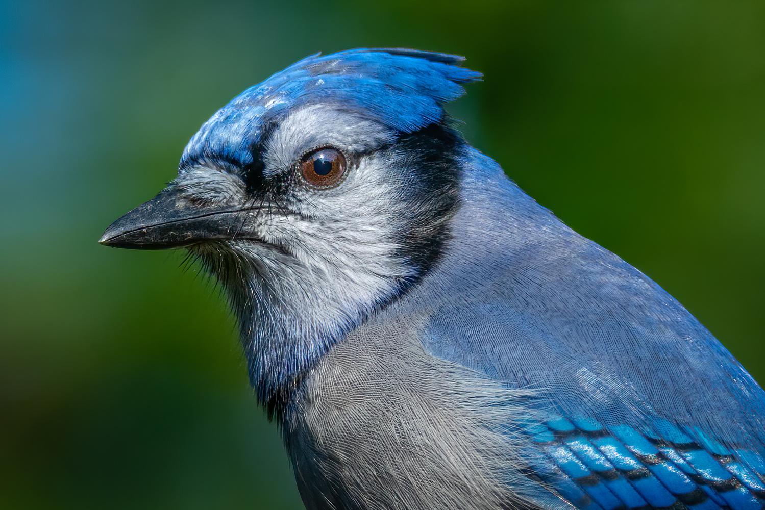 Blue Jay by Jim Elve