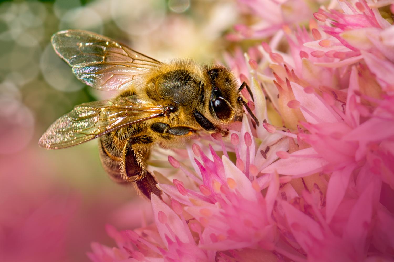 Honeybee 25 by Jim Elve