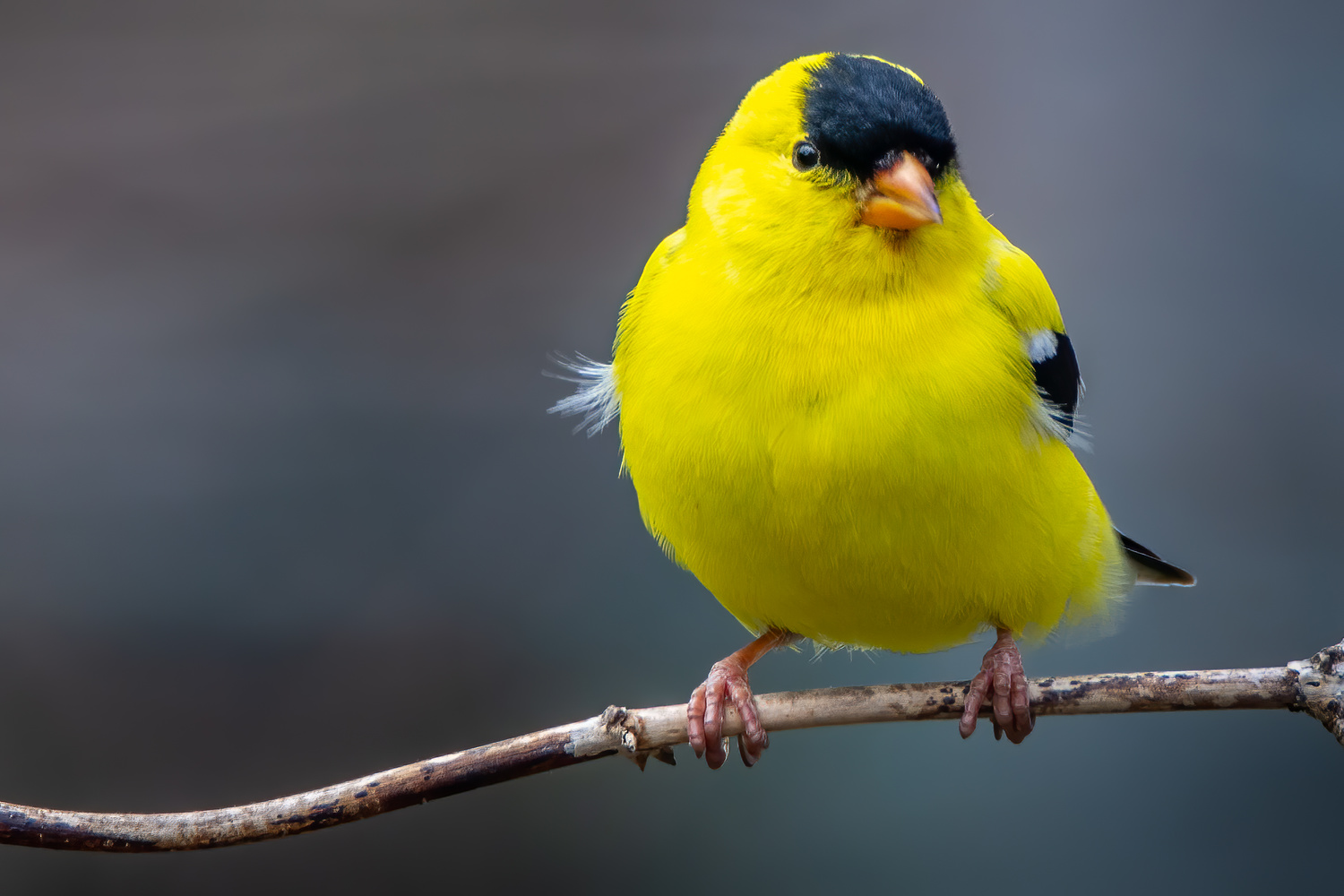 American Goldfinch by Jim Elve