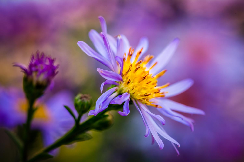 Purple Aster by Jim Elve