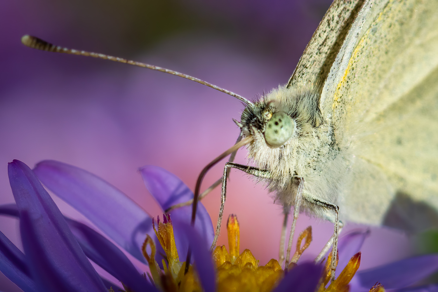 Cabbage White by Jim Elve