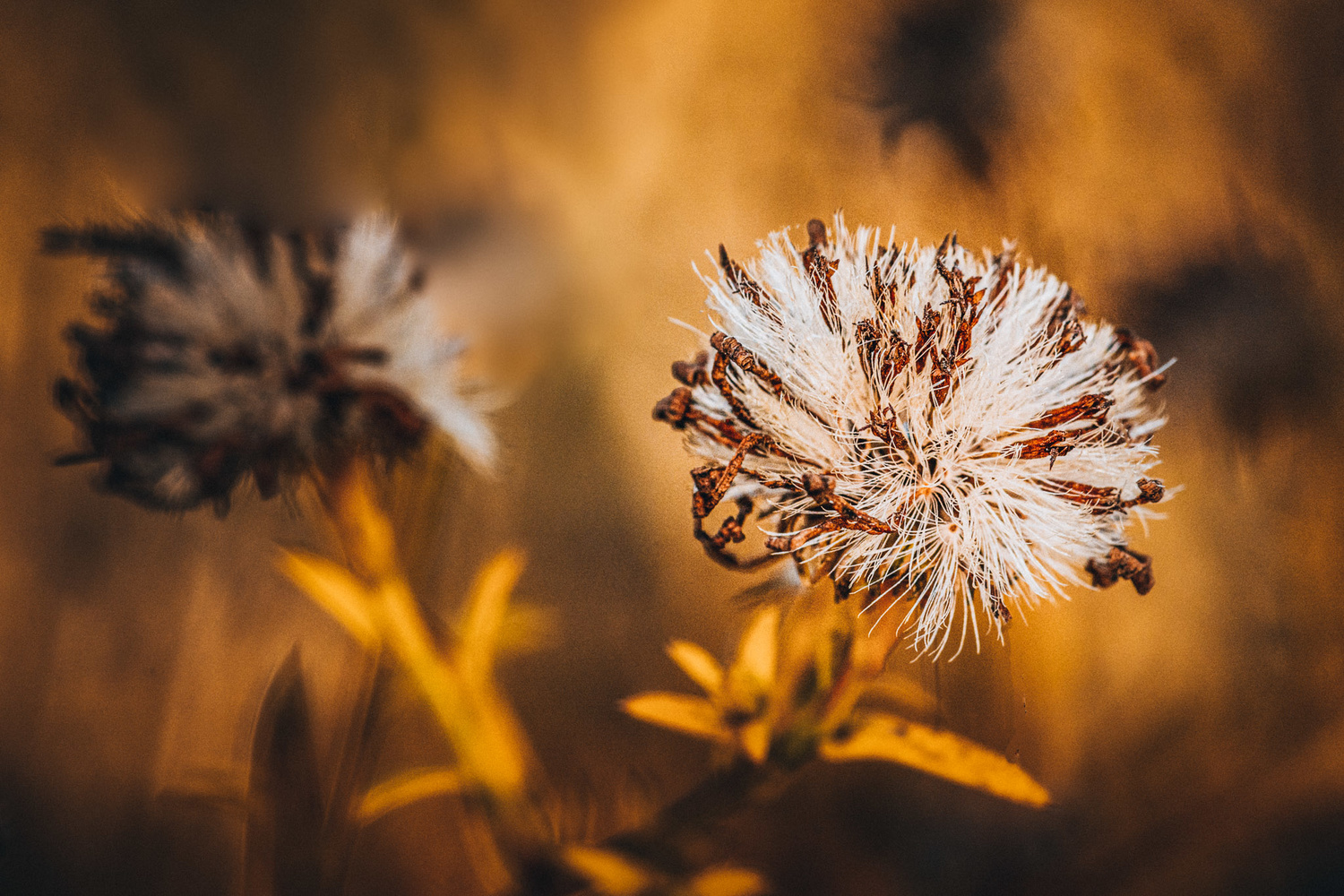 Autumn Aster by Jim Elve