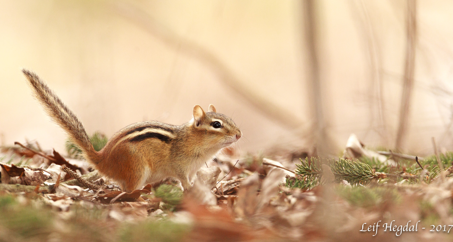 Chipmunk by Leif Hegdal