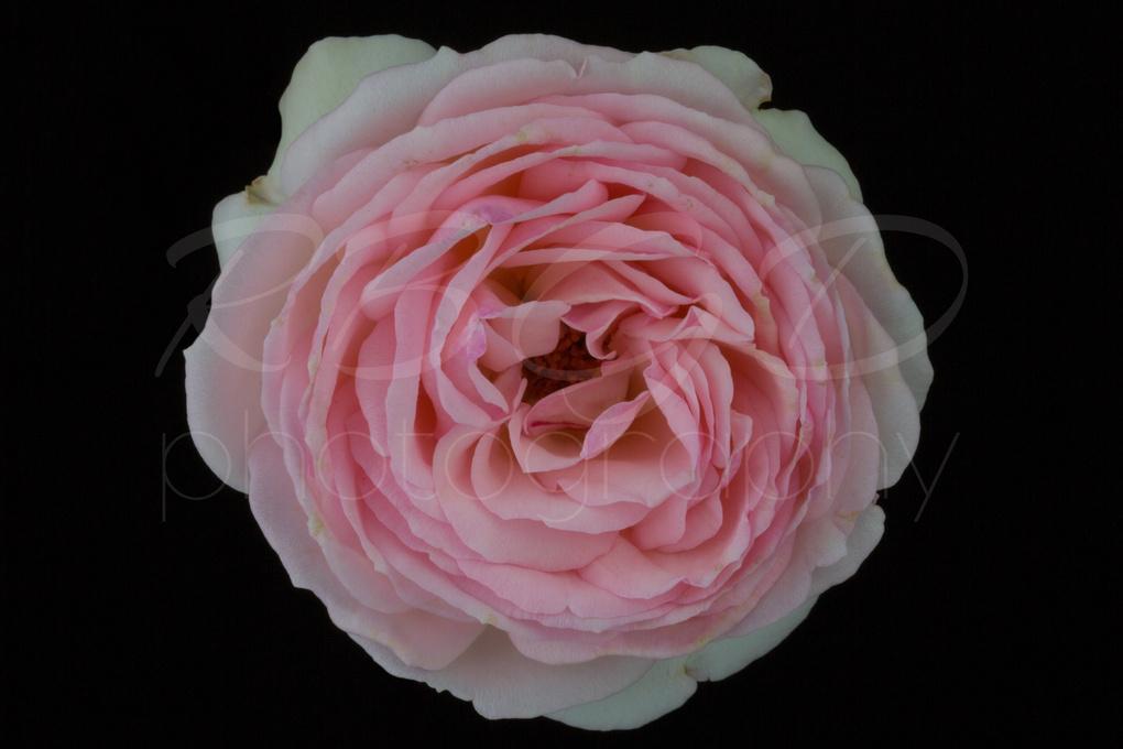 Pink Rose by Ricky B. G. Dellinger