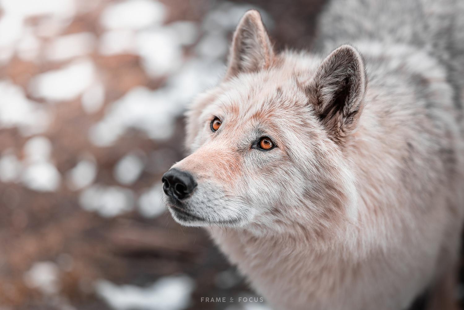 wolfdog by Marieke Kemp